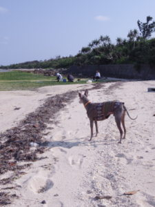 竹富島の犬