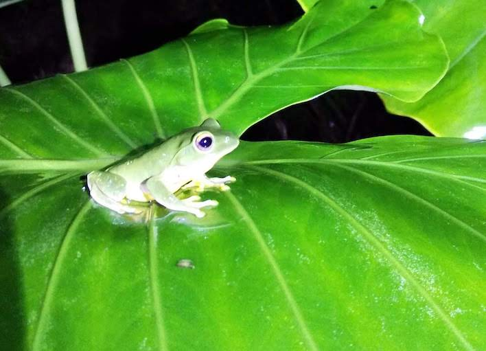 frog at Iriomote
